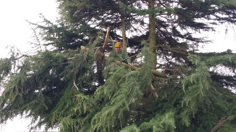 Leeds Tree surgeon felling tree at Harrogate